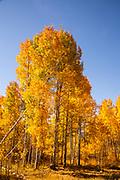 Blue Sky & Golden Aspens