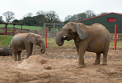 © Licensed to London News Pictures; 23/06/2021; Wraxall, North Somerset, UK. FILE PICTURE dated 03/04/2015 of a male African bull elephant named M'CHANGA (left), then aged 6, with another elephant enjoying treats such as brussel sprouts hidden in the pile of sawdust at Noah's Ark Zoo Farm. The zoo farm announced yesterday that they have launched an investigation after M'Changa now aged 12 was killed last week after an incident with another bull elephant. The zoo says that the incident occurred in the early hours of Friday 18/06/2021 when another bull elephant went into the area where M'Changa was asleep and an attack followed that left M'Changa with fatal injuries. The other two bull elephants at the zoo, Shaka and Janu, were unharmed. The zoo has launched an  investigation into the incident and is reviewing the future of their elephant programme. The announcement of M'Changa's death comes a day after news that new laws could stop new elephants from being brought to UK zoos and safari parks in future. The Government is to receive a report on the welfare of elephants in captivity which is believed to advise against keeping elephants in zoos as it causes them mental illness and other physical issues such as arthritis and the spaces in which they are kept are too small. New laws may say that as captive elephants die out they cannot be replaced. Noah's Ark Zoo Farm has one of the largest elephant facilities in the UK and Europe and their Elephant Eden area has been commended for best practice with specialist elephant keepers, 20 acres of space to roam and extensive efforts made for enrichment and sustaining healthy and active elephants who play an important role as a male population that can be moved to other zoos as breeding bulls to contribute to breeding programmes. Photo credit: Simon Chapman/LNP.