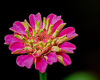 First indoor hydorponic Zinnia flower starting to bloom. Composite of 66 focus stacked images taken with a Fuji X-T3 camera and 80 mm f/2.8 macro lens (ISO 160, 80 mm, f/4, 1/250 sec). Raw images processed with Capture One Pro and Helicon Focus.