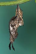 Zebra Longwing Butterfly Pupae, Heliconius charitonius, chrysalis hanging from stem, horns, charitonia ,metamorphosis