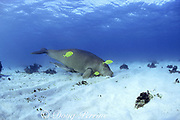dugong or sea cow, Dugong dugon, feeding on bottom, accompanied by pilot fish, Coral Bay, Western Australia ( Indian Ocean )