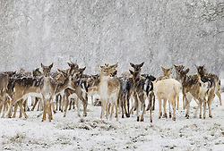 © Licensed to London News Pictures. 24/01/2021. London, UK. A herd of young deer experience the snowy conditions in Bushy Park, south west London. A band of snow is crossing the south east this morning as temperature remain just above freezing. Photo credit: Peter Macdiarmid/LNP