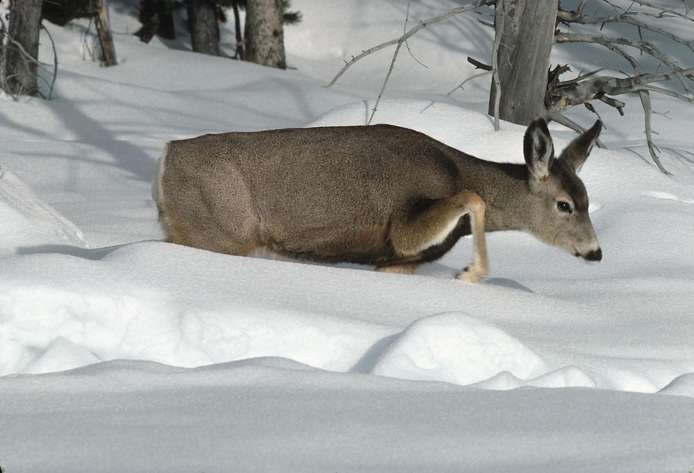 Mule deer, Firehole Basin, Yellowstone National Parrk, Wyoming, USA