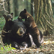 Black Bear, (Ursus americanus) Minnesota, small spring cubs after wood ticks in sleeping sow's ears in forest. Summer.