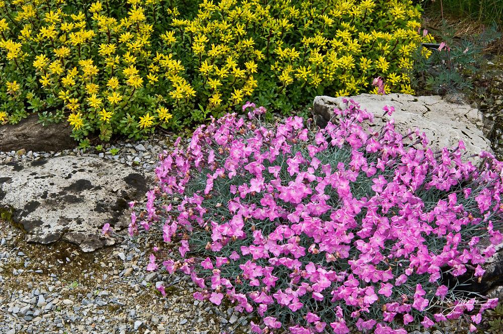 Alpine garden with flowering Dianthus and Sedum surrounded by wild orange hawkweed, Lively, Ontario, Canada