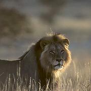 Lion, (Panthera leo) Portrait of mature male in Kalahari Desert. Early morning. Africa.