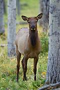 Cow elk in aspnes