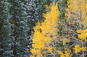 Light snow on late fall aspens and pines, San Juan Mountains, Uncompahgre National Forest, Colorado