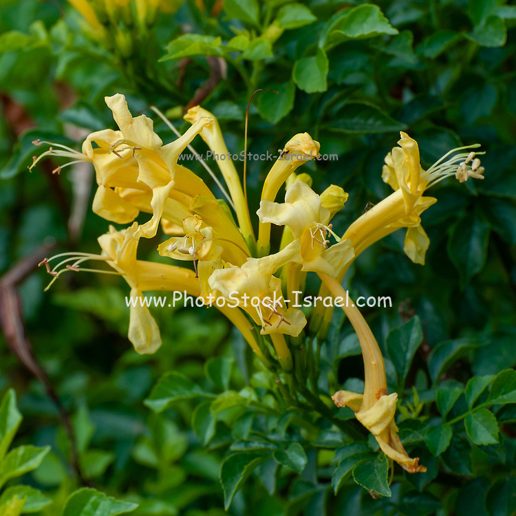 flamevine or trumpetvine, is a plant species of the genus Pyrostegia of the family Bignoniaceae originally endemic to Brazil, but now a well-known garden species