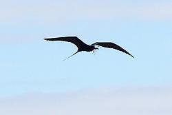 Frigatebird With Nest Building Material, North Seymour