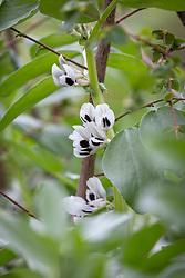Vicia faba - Broad bean in flower