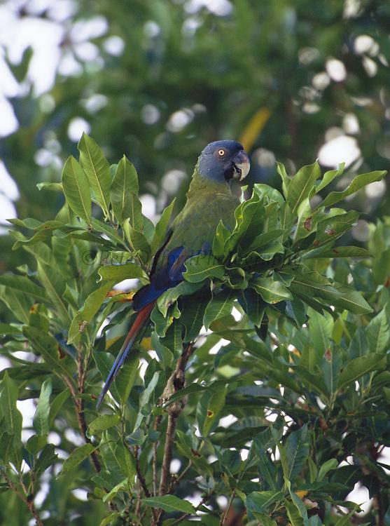 Blue-headed Macaw<br />Propyrrhura couloni<br />Bocamishagua River<br />Amazon Rain Forest. PERU.  South America<br />Range: e Peru, n Bolivia to w Brazil<br />RARE MACAW