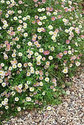 Erigeron karvinskianus syn. mucronatus growing in gravel. Mexican daisy