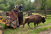 A European bison, Bison bonasus, is released in the wild by Cesare Avesani Zaborra, president of ARCA Foundation, and Frans Shepers, Managing Director of Rewildling Europe. organizer of the project Life Re-Bison, supported by the Europena Commission.