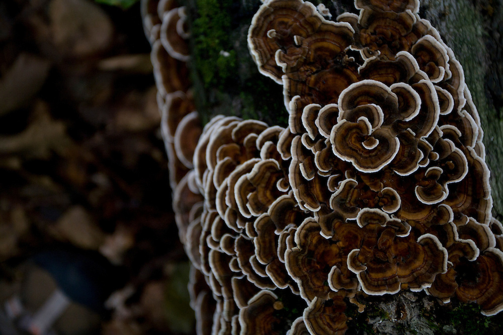 Birch Lenzites or Gilled Fungi