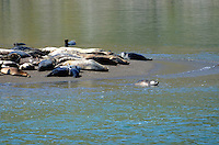 Seal pup ventures into the sea whilst adults bask on a sandbank. Taken Russian River Estuary, near Jenner, Sonoma County, California, USA. 201302292103<br /> <br /> Copyright Image from Victor Patterson, 54 Dorchester Park, Belfast, UK, BT9 6RJ<br /> <br /> Tel: +44 28 9066 1296<br /> Mob: +44 7802 353836<br /> Voicemail +44 20 8816 7153<br /> Skype: victorpattersonbelfast<br /> Email: victorpatterson@me.com<br /> Email: victorpatterson@ireland.com (back-up)<br /> <br /> IMPORTANT: If you wish to use this image or any other of my images please go to www.victorpatterson.com and click on the Terms & Conditions. Then contact me by email or phone with the reference number(s) of the image(s) concerned.