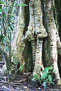 Ficus tree trunk Manuel Antonio National Park, (Parque Nacional Manuel Antonio), Costa Rica