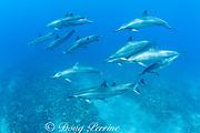 pod of Hawaiian spinner dolphins or long-snouted spinner dolphins, or Gray's spinner dolphins, Stenella longirostris longirostris, passes over coral reef, Keauhou, Kona, Hawaii ( the Big Island ) Central Pacific Ocean
