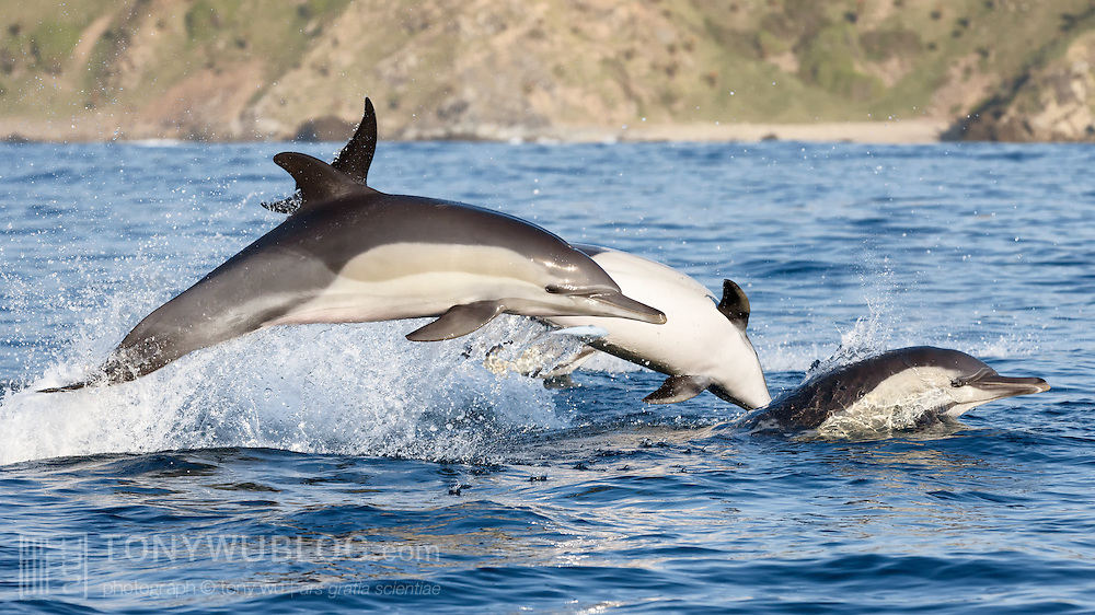 Indo-pacific common dolphins (Delphinus delphis tropicalis) implementing a coordinated attack on a ball of baitfish. The dolphin in the middle is flipping into the water to grab a fish that it's seen.