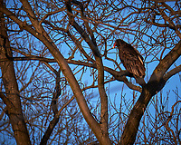 Turkey Vulture in a tree.  Image taken with a Fuji X-T1 camera and 100-400 mm OIS lens (ISO 200, 400 mm, f/6.4, 1/350 sec)
