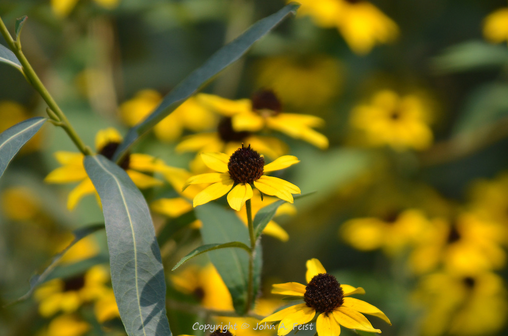 One flower among all the black eyed susans showing details.  Hillsborough, NJ