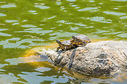 Water Turtles Resting on a Rock at William R Mason Park