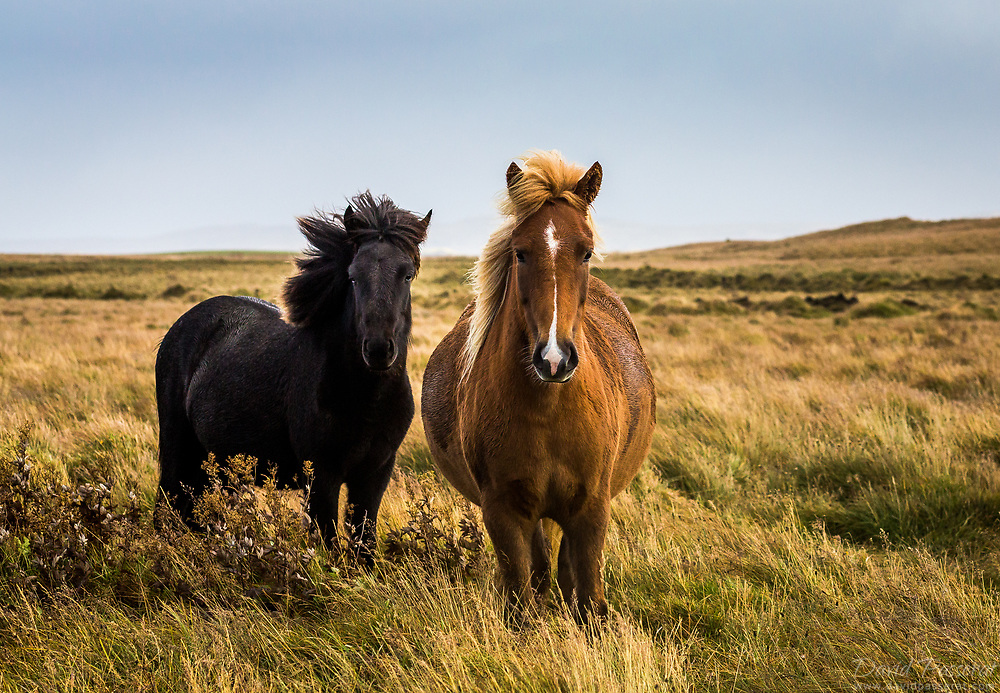 Two Icelandic horses in a field.