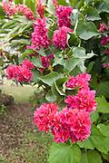 Bouganvilla flower, Taveuni, Fiji