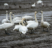 A group of Tundra Swans converge in a fallow field while feeding.
