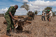 KWS veterinary -  supported by The David Sheldrick Wildlife Trust -  Jeremiah Poghon, his team and KWS Honorary Warden Davide Gremmo treating a wounded giraffe in Lualenyi Game Reserve. The giraffe has a poacher's snare on its rear right leg.,