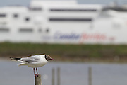 Black-headed gull on the lagoon with Condor Ferry behind. Brownsea Island, Poole Harbour, Dorset, UK.