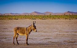 A donkey roaming in the Moroccan Sahara Desert near Cheggaga in the early morning<br /> <br /> (c) Andrew Wilson   Edinburgh Elite media