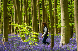 © Licensed to London News Pictures. 09/05/2021. CHORLEYWOOD, UK.  A woman views the native bluebells (Hyacinthoides non-scripta) flowering in Philipshill Wood near Chorleywood, Hertfordshire as the weather warms up after a few days of rain.  The native bluebell is protected under the Wildlife and Countryside Act (1981) meaning that flowers cannot be picked and bulbs cannot be dug up..  Photo credit: Stephen Chung/LNP