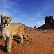 Mountain Lion or Cougar (Felis concolor) in the sand dunes of Monument Valley in northern Arizona. Captive Animal
