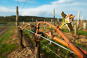guyot double training with bud vineyard chateau pey la tour bordeaux france