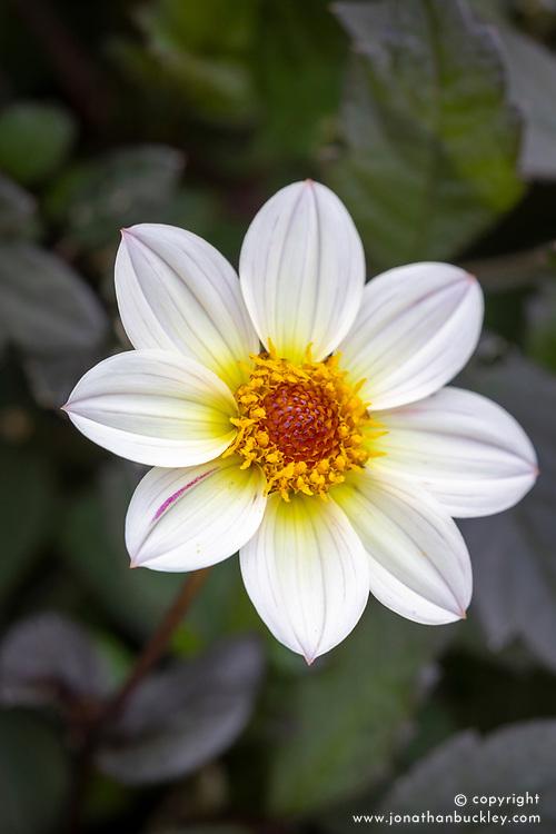 Dahlia 'Happy Days Cream White' (de Jager)