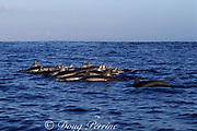 spinner dolphins, Stenella longirostris, surfacing, Kona, Hawaii, USA ( Pacific )