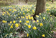 Daffodils in flower around the base of a tree, Suffolk, England