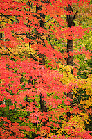 Vibrant red maple leaves in autumn, Vermont, USA