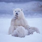 Polar Bear, (Ursus maritimus) Mother with cubs nursing. Churchill, Manitoba. Canada.