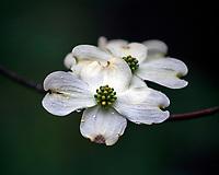 Flowering dogwood tree Columbia, South Carolina photo by Catherine Brown