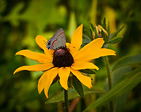 Red-banded Hairstreak (Calycopis cecrops) on a Black-Eyed Susan Flower.  Image taken with a Nikon 1 V3 camera and 70-300 mm VR lens (ISO 200, 300 mm, f/5.6, 1/160 sec).