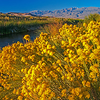 Rabbitbrush blooms beside the Owens River near Bishop in the Owens Valley, California. Behind is 14,252 foot White Mountain Peak, the highest peak of the White Mountains and third highest in the state.