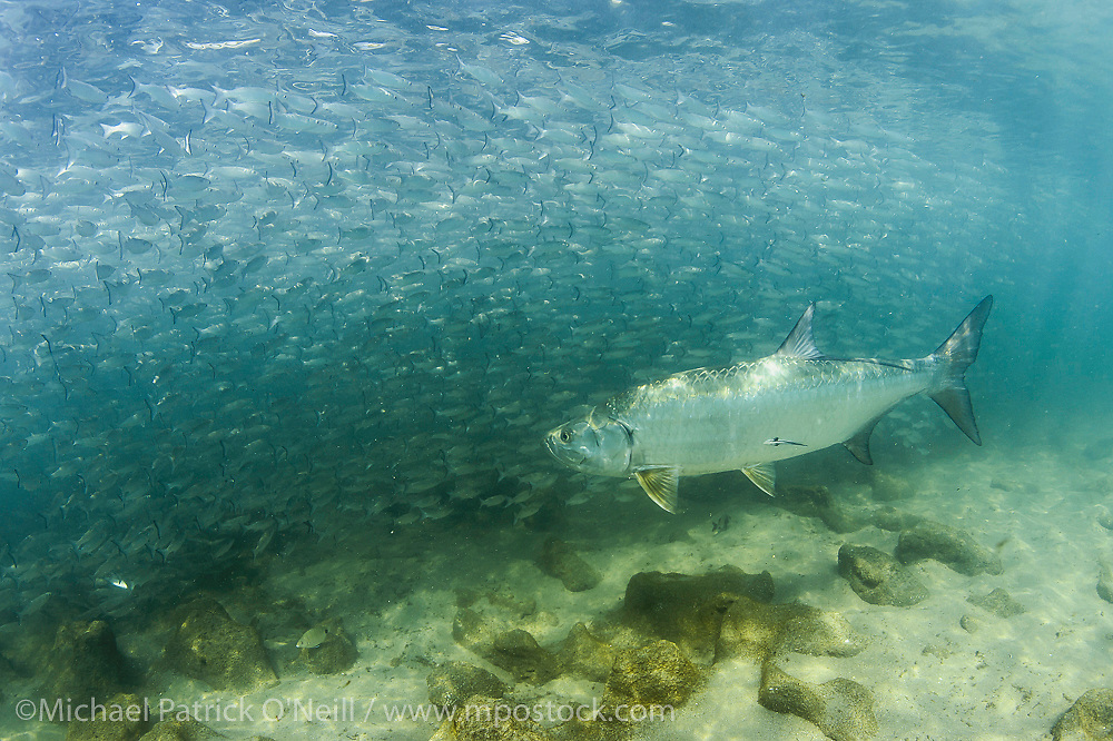 A Tarpon, Megalops atlanticus, hunts Silver Mullet, Mugil curema, during the baitfish's annual migration along Florida's East Coast.