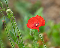 Red Poppy Flower. Image taken with a Nikon D850 camera and 70-300 mm VR lens.
