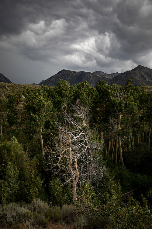 Trees along Mammoth Creek in Mammoth Lakes as a late afternoon storm rolls through.