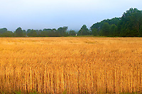 Wheat Field at Morning in New Jersey. Image taken with a Leica X1 (ISO 100, 24 mm, f/4, 1/125 sec). Raw image processed with Capture One Pro, Focus Magic, and Photoshop CS5.