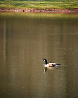 Canada Goose. Image taken with a Nikon D3x camera and 24-70 mm f/2.8 lens