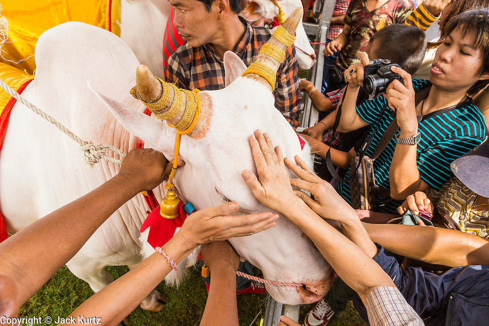13 MAY 2013 - BANGKOK, THAILAND:  People stroke the Royal Oxen and rub money on the animal's forehead for good luck at the Royal Ploughing Ceremony in Bangkok. After the ceremony, thousands of Thais, mostly family formers, rush onto the ploughed ground to gather up the blessed rice seeds sown by the Brahmin priests. The Royal Plowing Ceremony is held Thailand to mark the traditional beginning of the rice-growing season. The date is usually in May, but is determined by court astrologers and varies year to year. During the ceremony, two sacred oxen are hitched to a wooden plough and plough a small field on Sanam Luang (across from the Grand Palace), while rice seed is sown by court Brahmins. After the ploughing, the oxen are offered plates of food, including rice, corn, green beans, sesame, fresh-cut grass, water and rice whisky. Depending on what the oxen eat, court astrologers and Brahmins make a prediction on whether the coming growing season will be bountiful or not. The ceremony is rooted in Brahman belief, and is held to ensure a good harvest. A similar ceremony is held in Cambodia.   PHOTO BY JACK KURTZ