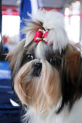 "Pedigree Dog - Shih Tzu (also spelled as shih-tsu literally ""Lion Dog"") a breed of small companion dog of very ancient type, with long silky fur. The breed originated in China"